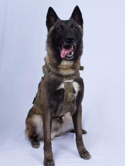 軍用犬 ベルジアン・マリノア